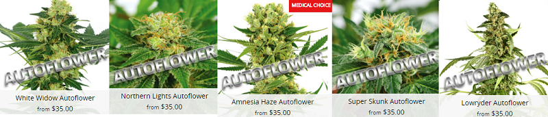 Autoflowering Cannabis Seeds Canada Delivery Guaranteed