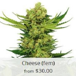 Buy Cheese Cannabis Seeds