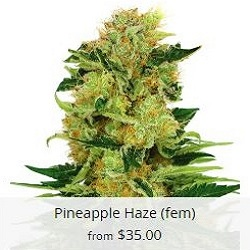 Pineapple Haze Cannabis Seeds