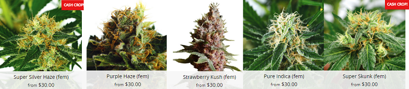 Popular Canada Cannabis Seeds
