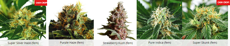 Popular Canada Marijuana Seeds