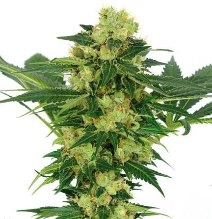 White Widow Cannabis Seeds Canada