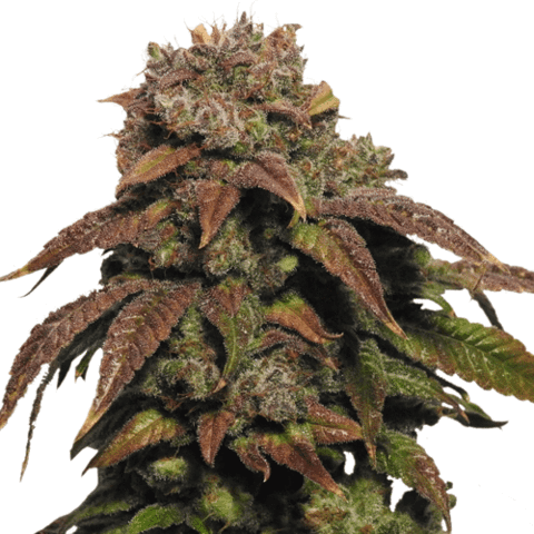 Green Crack Marijuana Seeds