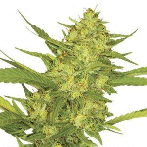 Sour Diesel Seeds