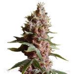 Strawberry Kush Seeds