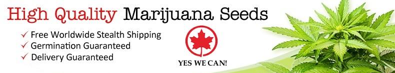 Buy Marijuana Seeds In Brampton Canada
