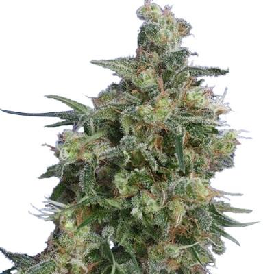 Bubba Kush Seeds