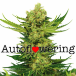 Cheese Autoflowering Seeds