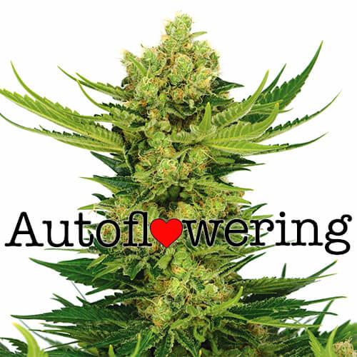 Cheese Autoflowering Seeds