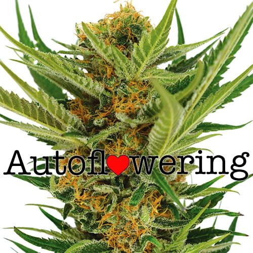 Jack Herer Autoflowering Seeds