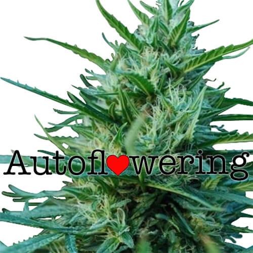 OG Kush Autoflower Seeds