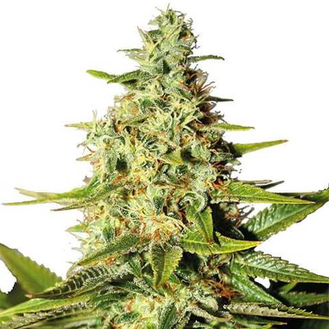 Crown Royale Feminized Marijuana Seeds