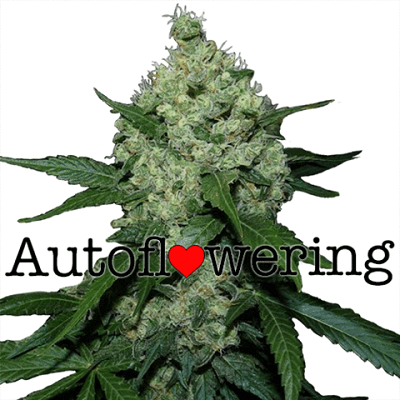 Trainwreck Autoflower Seeds