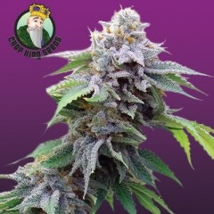 Blue Cookies Feminized Seeds