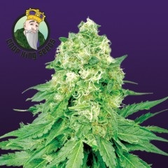 White Banner Feminized Seeds