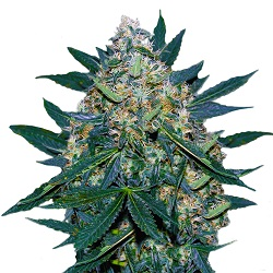 Black Indica Feminized Seeds
