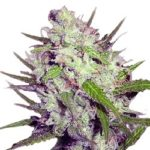 Dark Angel Feminized Seeds