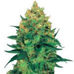 Hash Plant Feminized Seeds