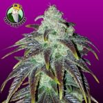 Sour Jack Feminized Seeds