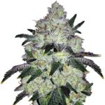 White Cookies Feminized Seeds
