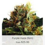 Purple Haze Marijuana Seeds