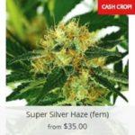 Super Silver Haze Marijuana Seeds