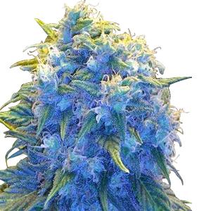 Blue Cookies