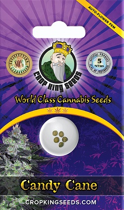 Buy Candy Cane Autoflowering Seeds