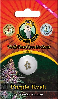 Purple Kush Cannabis Seeds