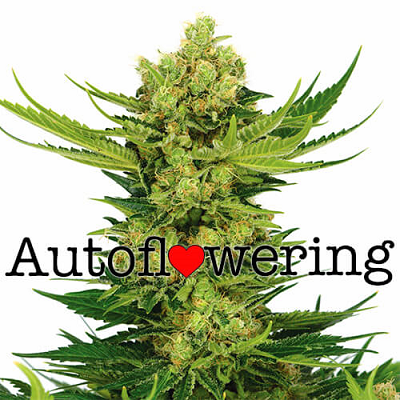 CBD Auto Cheese Seeds