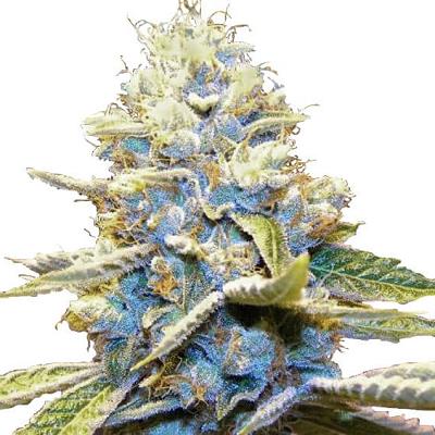 CBD Shark Cannabis Seeds