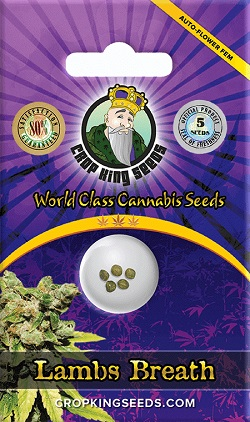 Buy Lambs Breath Autoflowering Seeds