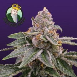 Sour Girl Auto flowering Seeds