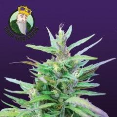 Sativa Star Feminized Seeds
