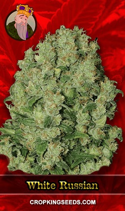 White Russian Fast Flowering