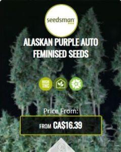Alaskan Purple Autoflowering Seeds For Sale
