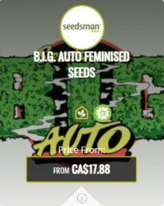 B.I.G Autoflowering Seeds For Sale