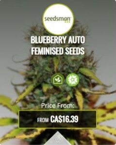 Blueberry Autoflowering Seeds For Sale
