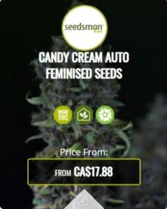 Candy Cream Autoflowering Seeds For Sale