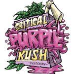 Critical Purple Kush Feminised