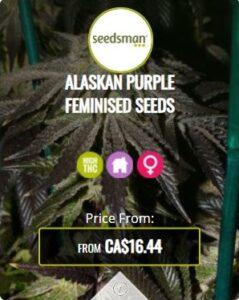 Alaskan Purple Feminized Seeds For Sale