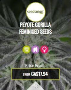 Peyote Gorilla Feminized Seeds For Sale