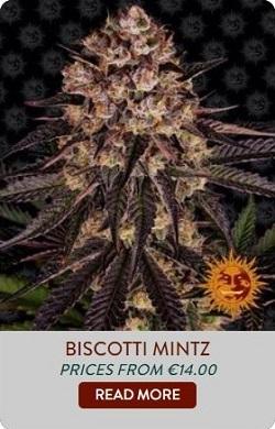 Barneys Farm Biscotti Mintz Seeds