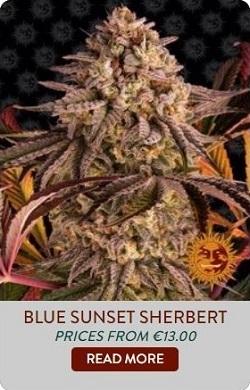 Barneys Farm Blue Sunset Sherbet Seeds