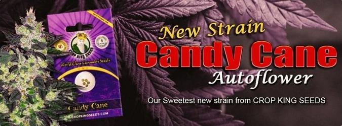 Candy Cane Strain